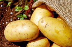 Jaké brambory patří do salátu, kaše, nebo do přílohy?