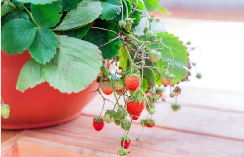 Návod, jak si vypěstovat jahody na balkóně